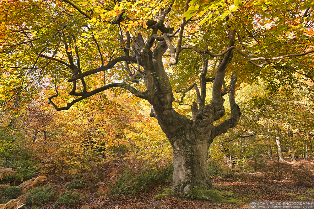 photoblog image Coppiced Beech