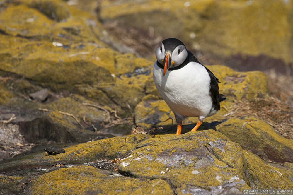 photoblog image Curious Puffin